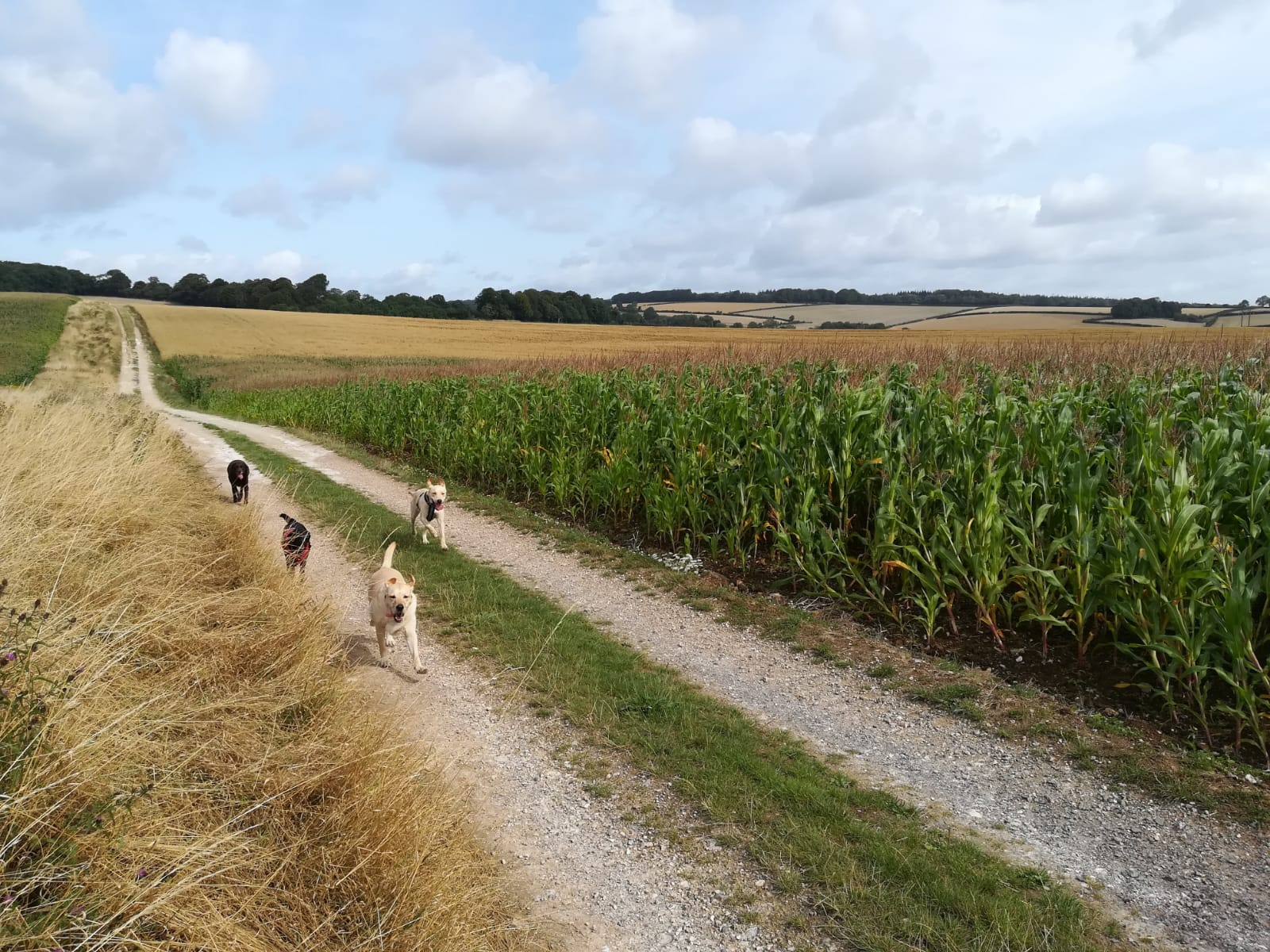 Dogs running through a field on a track